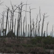 Dead Cypress Trees