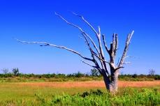 Dead Oak Tree (photo by Diane Huhn)