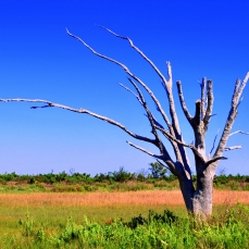 Dead Oak Tree (photo by Diane Huhn)